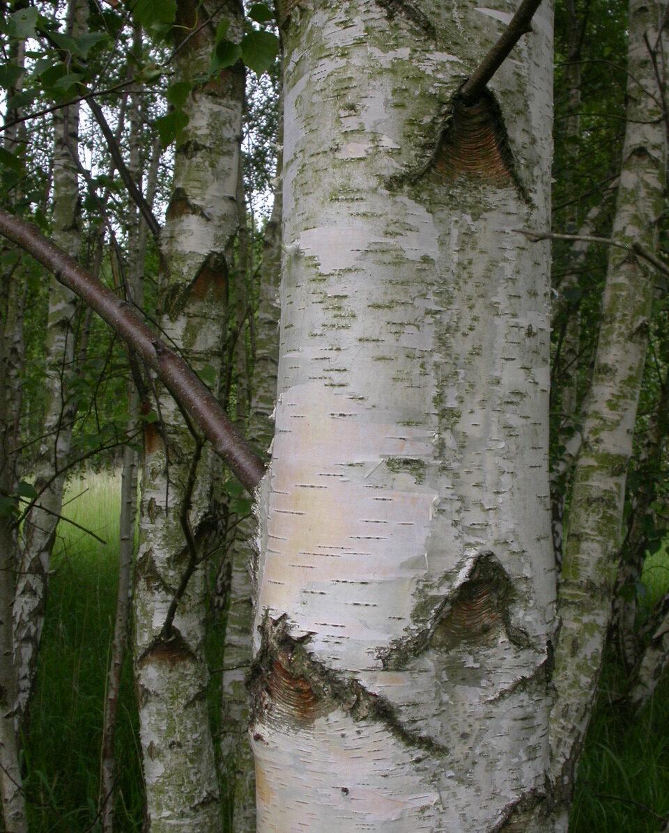 Projekt Birketræ,Kongenshave 003